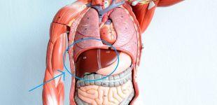 Печень: где находится, анатомия, лечение и профилактика болезней